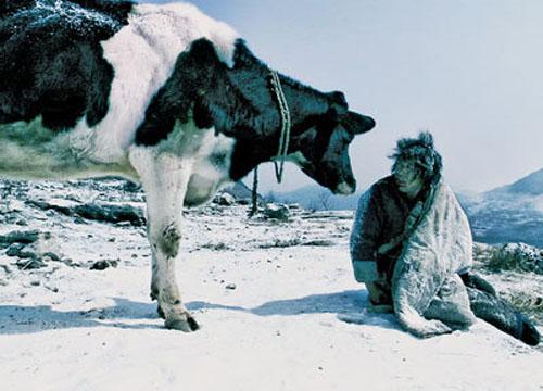 cow 500